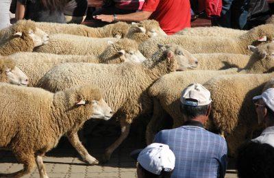 Cingjing Sheep